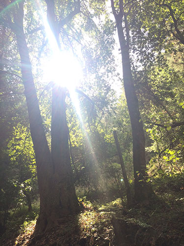 the sun shining through redwood trees