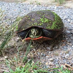 a turtle hiding in his shell