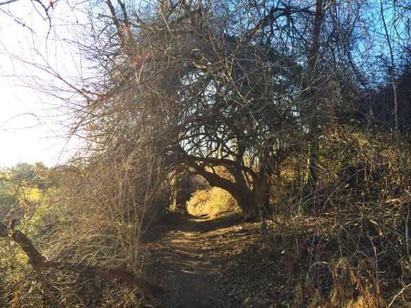 an arching tree in the trail