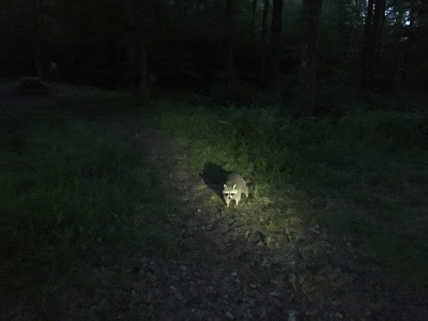 a raccoon at a campsite